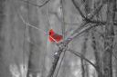 Red Cardinal in the Trees