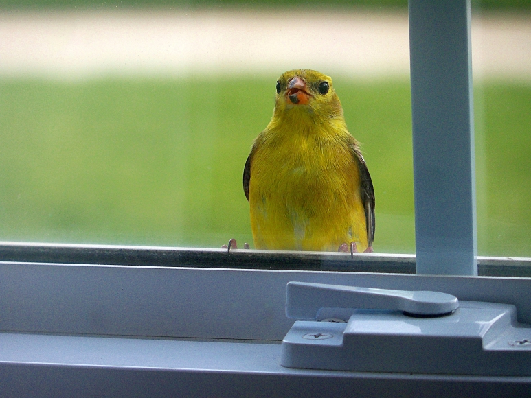 A yellow bird with a yellow bill 9 29 14 for 2 little birds sat on my window