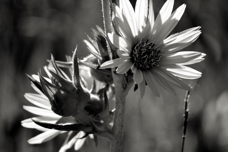 Backlit Sunflowers in Black and White