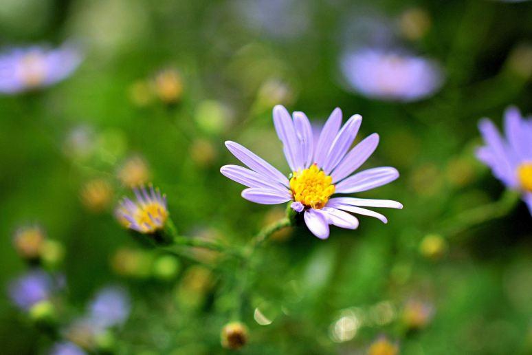 Wildflower Aster