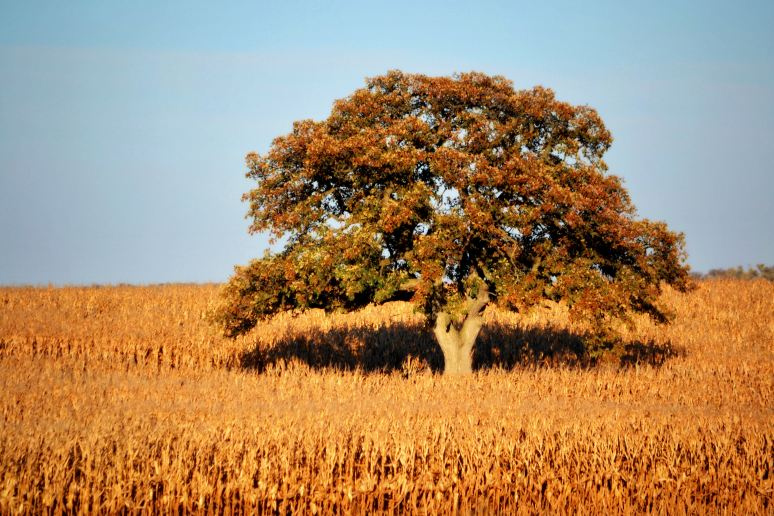 Tree in the Cornfields
