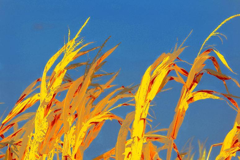 Corn Stalks Rising