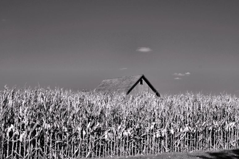 Barn in the Cornfields